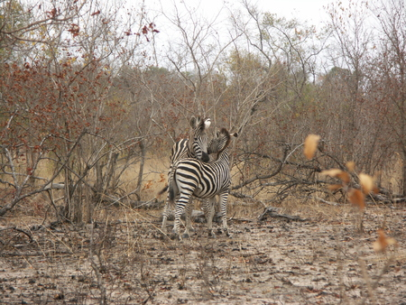 Two zebras cuddling together in forest opening in south africa.
