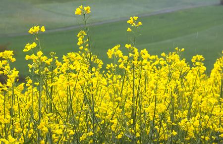 Yellow field of blooming raps contrasted with green meadow close up.