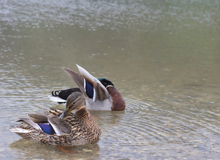 Male and Female ducks cleaning themselves on lake schwarzsee in fribourg. Beautifully coloured feathers.