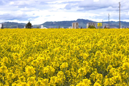 Yellow field of blooming raps in suburban area. Showing the transition from the city suburbs to farmland. Imagens