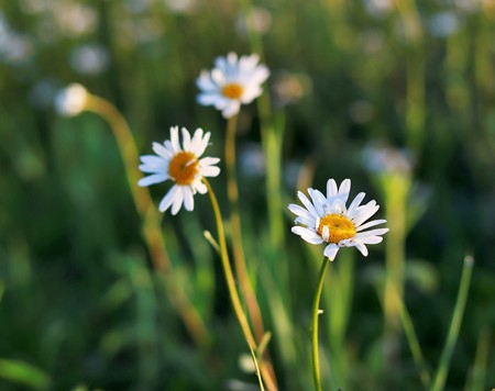 Three blooming marguerites (daisies) in morning light with green blurry background.