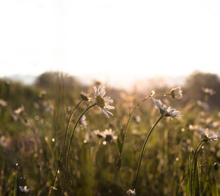 field of blooming marguerites (daisies) in morning light against the sun with green blurry background.