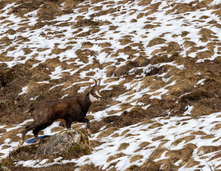 Alpine chamois or Rupicapra rupicapra climbing over rock looking into camera with melting snow in background. Stock Photo
