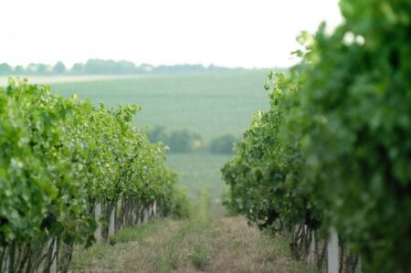 wineyard: Rows of fresh vineyard in the morning. Useful file for your brochure about wine, agriculture and other articles. Stock Photo