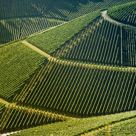 High angle view of a vineyard  Square shape - useful file for your brochure about your wine business, agriculture and everything related to  photo
