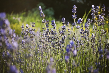 traditional medicine: Beautiful detail of a lavender field in sunset  Useful file for your brochure,flyer site about gardening, spa, traditional medicine and cosmetic products  Stock Photo