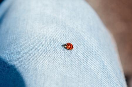Ladybug landing on a piece of jeans cloths photo