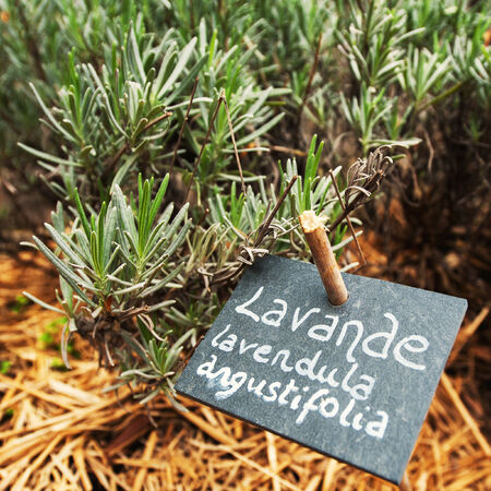lavande: Culinary lavender - Lavande Lavendula Angustifolia growing in a traditional near the house garden with the name written on chalkboard
