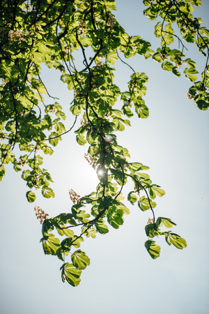 backlit: Backlit flowered chestnut tree branch in bloom  - spring is in the city and in the green parks