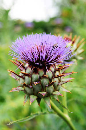 plantae: Fresh artichoke flower in organic agriculture field with stem and leaf