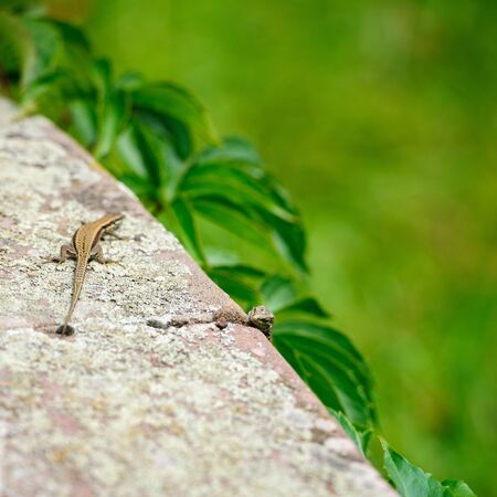 desert lizard: Two curious lizards on the stone in green garden