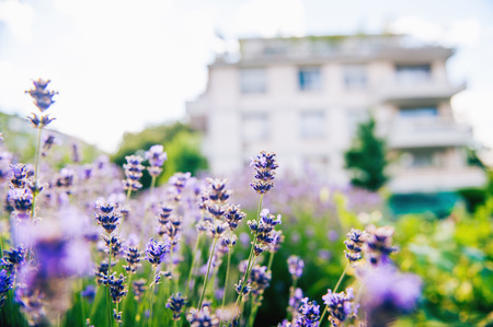 olfactory: Beautiful lavender garden with fresh and colorful lavender and with a luxury house in the background Stock Photo