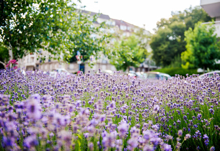 olfactory: Lavender field seen in the city with defocused urban environemnt in the background Stock Photo