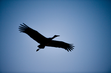splayed: Silhouette of a stork flying overhead at dusk against beautiful blue background