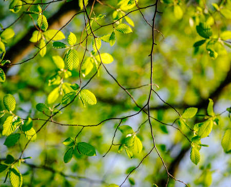 arbol alamo: Fresh leaves of poplar tree in spring in protected forest