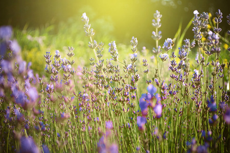 olfactory: Beautiful detail of a lavender field in sunset. Useful file for your brochure,flyer site about gardening, spa, traditional medicine and cosmetic products.