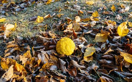 hedgeapple: Maclura pomifera (known as Osage orange) on a frozen winter morning Stock Photo