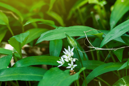 alliaceae: Spring medical nutritional plant and fresh, natural, wild-grown, bears garlic leaves in forest