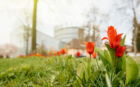 STRASBOURG, FRANCE - MAR 24, 2017: Low angle view of European Parliament seen through red spring tulips. The European Parliament (EP) is the directly elected parliamentary institution of the European Union (EU) Reklamní fotografie