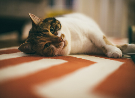 animal pussy: Beautiful pet cat lying on the carpet - home sweet home for this feline is all around the house