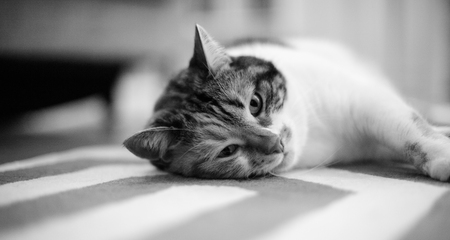 Beautiful pet cat lying on the carpet - home sweet home for this feline is all around the house, black and white image