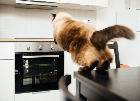 Elegant fluffy cat jumping from the kitchen table to the kitchen counter above the oven