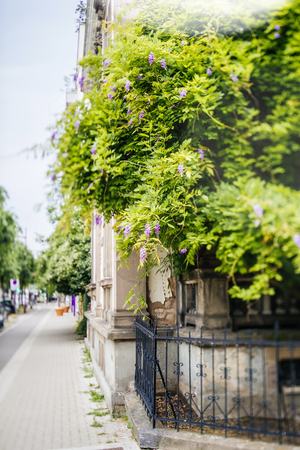 Beautiful wisteria plant on the French building street with magnificent flowers - street perspective view Banque d'images