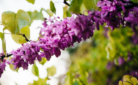 Rain water drops on cercis siliquastrum commonly flowers known as the Judas tree or Judas-tree branch in bloom it is a small deciduous tree from Southern Europe and Western Asia which with deep pink flowers in spring Stock Photo