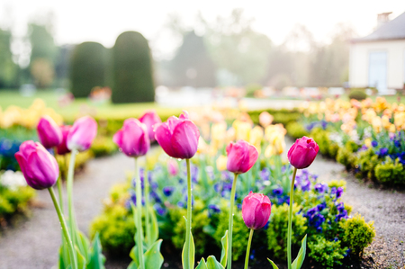Fresh spring tulips in bloom covered with water from rain and garden water sprinkler in luxury park garden - beautiful bokeh tilt-shift lens used to take this photo Stockfoto