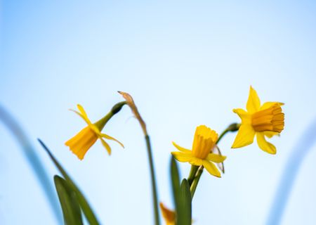 Three yellow Daffodils defocused against clear sky blue background