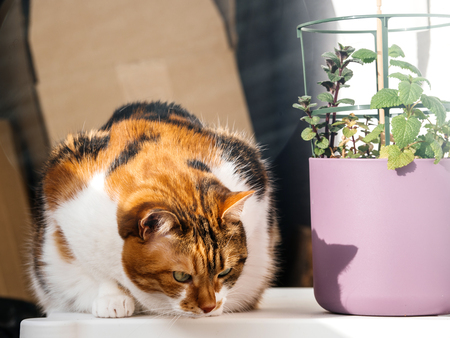 Curious cat near flower pot with cat mint admiring with curiosity an insect