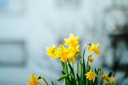 Beautiful narcissus flowers growing in field with defocused blue background