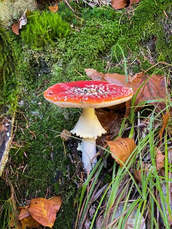 Cloe-up of Amanita muscaria in forest commonly known as the fly agaric or fly amanita, is a basidiomycete of the genus Amanita