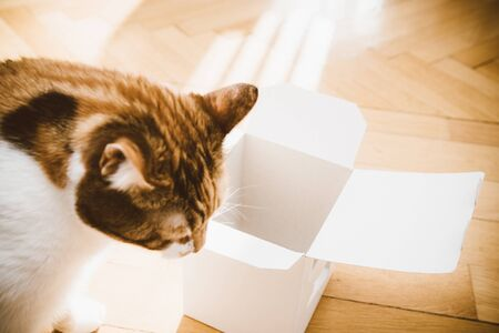 Close-up of cute cat playing with an open box on the wooden parquet floor