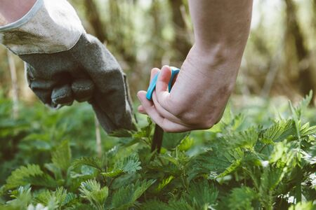 Low angle of woman hands harvesting common nettle vivid green fresh in spring forest for medical and food use
