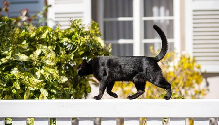 Sweet young fit elegant black cat walking on a white fence sunny weather - house window in background 版權商用圖片