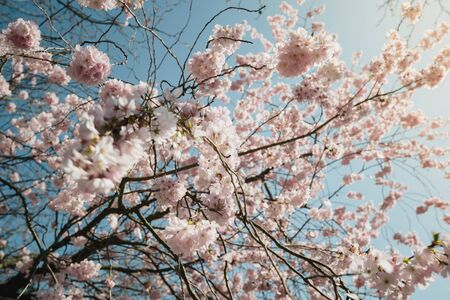 Close-up low angle view with wide lens of cherry sakura tree in bloom branches - spring is in the air