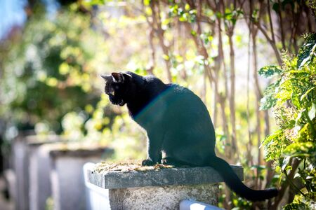 Meowing open mouth elegant black cat resting on a stone sunny weather - impressive yellow eyes