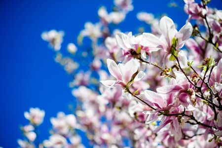 Low angle view of beautiful magnolia stellata tree in bloom with clear blue sky in the background
