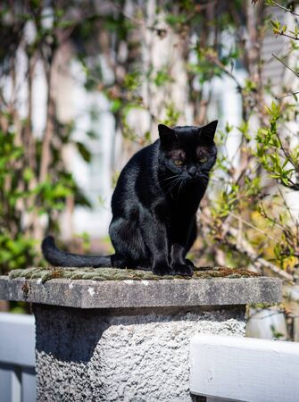 Front view of beautiful elegant black cat resting on a stone sunny weather