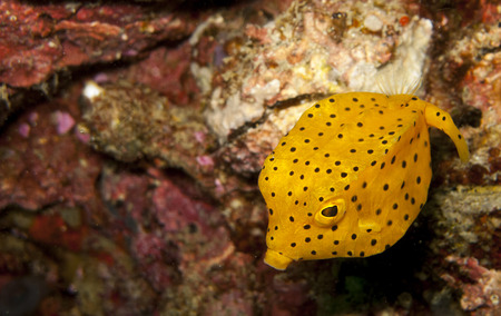 boxfish: Yellow boxfish juv, on the right looking left