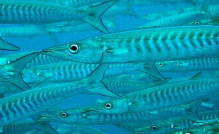 barracuda: a close shot of barracuda swimming in a school