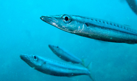 barracuda: a small yellow tail barracuda swims towards the camera Stock Photo