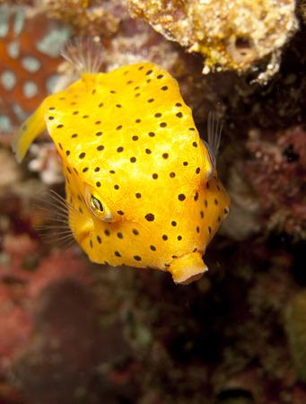 boxfish: a juvenile yellow boxfish swims down.