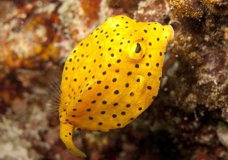 boxfish: young yellow boxfish fills the shot