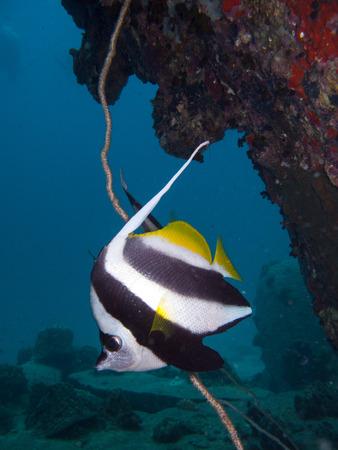 longfin: a lone longfin banner fish under a rock Stock Photo