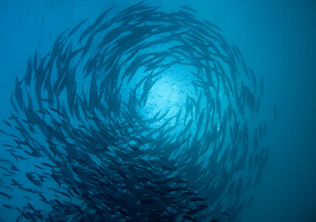 a school of barracuda circle above photo