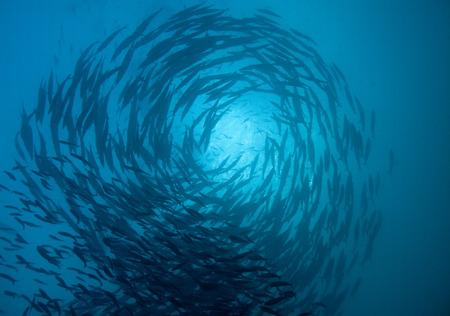 een school van barracuda cirkel boven