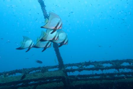 watery: a group of batfish swim around a shipwreck