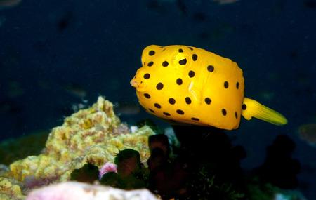 boxfish: a juvenile yellow boxfish looking at the camera